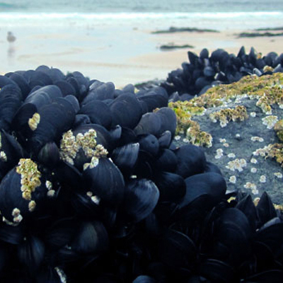 Foraged Mussels