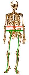 Skeleton Waist Diagram